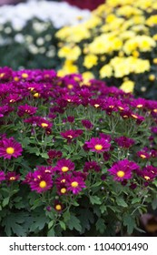 Colorful autumnal chrysanthemum. Blossoming flowers in a garden. Mums