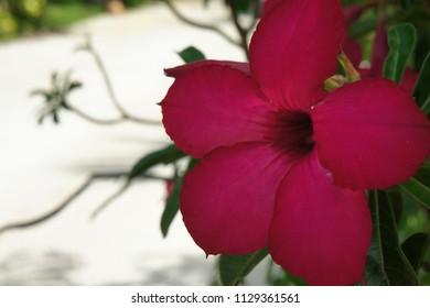 Colorful of Azalea flowers