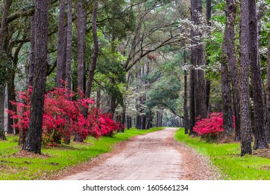 Colorful azalea flowers blooming under a  veil of pines and dogwood tress on a dirt road in the deep south on Edisto Island near Charleston SC