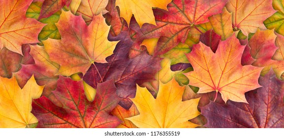 Colorful background of autumn maple tree leaves background close up. Multicolor maple leaves autumn background. High quality resolution picture - Shutterstock ID 1176355519