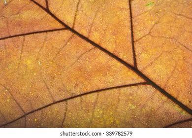Colorful background of autumn orange  leaf