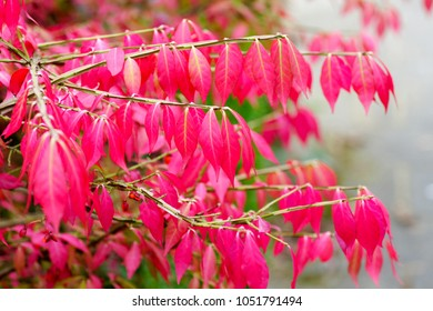 colorful background macro closeup of stunning Euonymus alatus, winged spindle, or burning bush popular ornamental shrub plant tree with attractive fall hot pink purple leaves in autumn