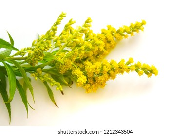 a colorful background with yellow Solidago flowers or goldenrod, with edible leaves, also used for herbal tea brewing, also causes allergic hay fever