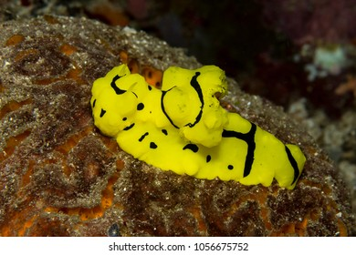 Colorful banana nudibranch