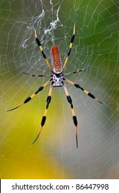 Banana Spider Pictures Florida