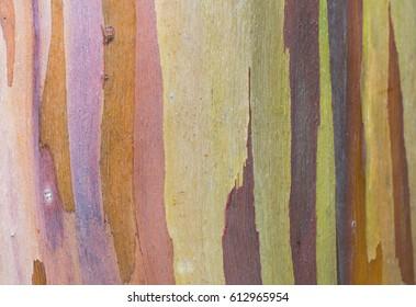 Colorful Bark: isolated close up of rainbow eucalyptus tree bark