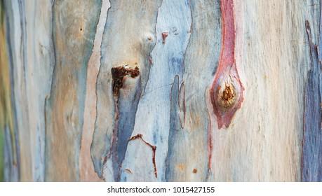Colorful beautiful  abstract pattern texture of rainbow Eucalyptus tree bark