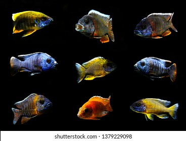 colorful beautiful african cichlid peacock aulonocara fish in aquarium from lake malawi collage