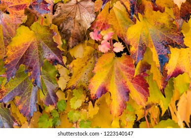 Colorful Beautiful Autumn Ivy Leaves of Red, Yellow, Orange, Green and Purple.