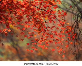 The colorful and beautiful maple autumn leaves in the park with the warm sunlight