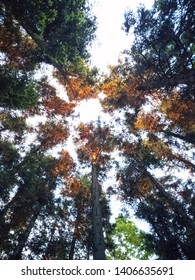 Colorful and beautiful pine trees