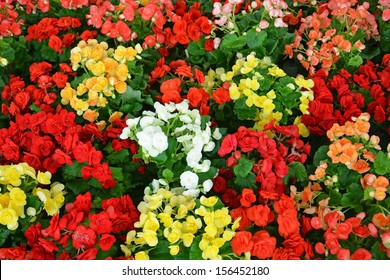 Colorful begonia flower in red, yellow, white orange, pink color in flower market, Thailand