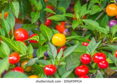 Colorful berries of nightshade, close-up