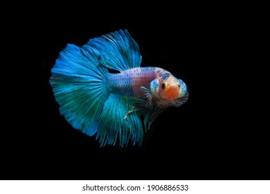 colorful betta fighting fish with black background