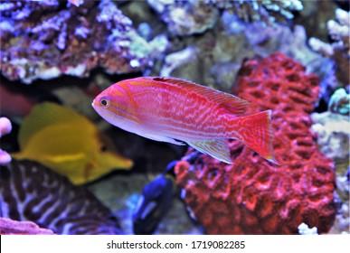 The colorful Bimaculatus Anthias (two-spot basslet, twinspot anthias, purple goldie) in marine aquarium. Pseudanthias bimaculatus is a tropical fish in the family Serranidae.