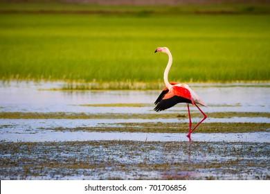 Colorful bird flamingo. Blue green nature background.