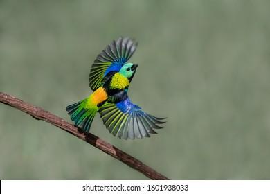 Colorful bird in flight. Nature wildlife scene. Bird watching in South America. Brazil, 2019.