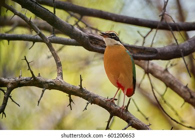 Colorful bird, Indian pitta, Pitta brachyura perched on branch among green leaves in tropical forest. Close up, shy bird of Himalayan foothills undergrowth, wintering in forest of  Sri Lanka.