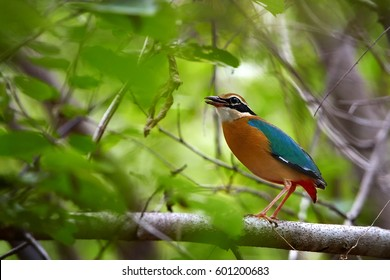 Colorful bird, Indian pitta, Pitta brachyura perched on branch among green leaves in tropical forest. Close up, shy bird of undergrowth, wintering in forest of  Yala national park, Sri Lanka.