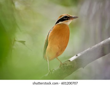 Colorful bird, Indian pitta, Pitta brachyura perched on branch among blurred green leaves in tropical forest. Close up, shy bird of Himalayan foothills undergrowth, wintering in Sri Lanka. Wildlife.