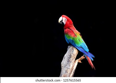 Colorful bird Macaw Parrot  have large beaks, bright feathers, long tails, and light or white facial patches. Scarlet macaws, blue and gold macaws, military macaws, and hyacinth macaws are common pet