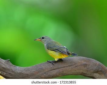 colorful bird (Orange-bellied Flowerpecker) on nature
