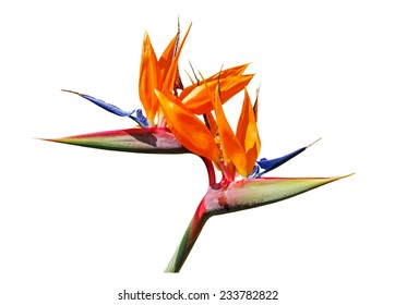 Colorful of  Bird of paradise flower blossom isolated on white background