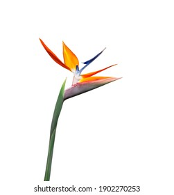 colorful bird of paradise flower long stem closeup isolated on a white background