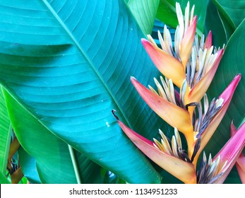 Colorful Bird of Paradise flower on green leaf background