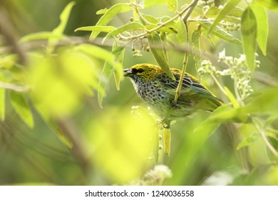 Colorful bird Speckled tanager Tangara guttata perched