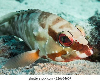 Colorful blacktip grouper off the coast of Hurghada, Egypt
