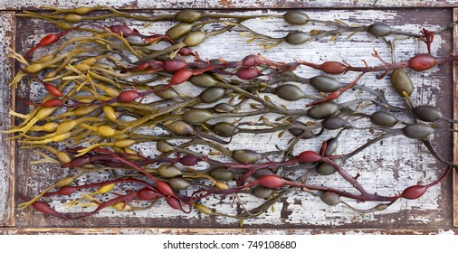 Colorful bladderwrack  on old wooden board