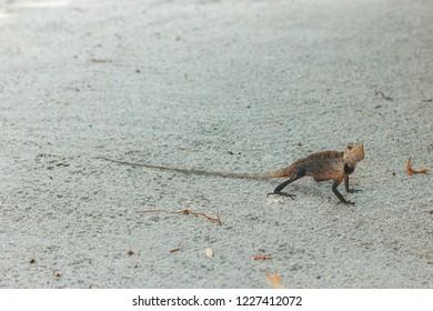 colorful bloodsucker lizard, Calotes walking on sand