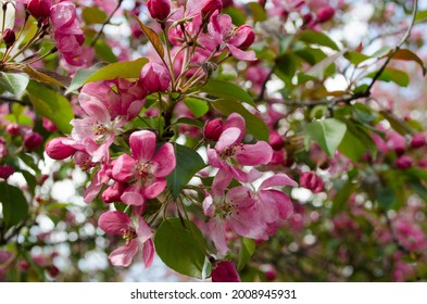 Colorful blooming of the apple tree