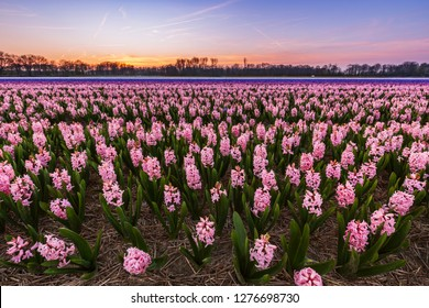 Colorful blooming flower field with pink and blue hyacinths during sunset. Famous tourist destination to visit in Springtime