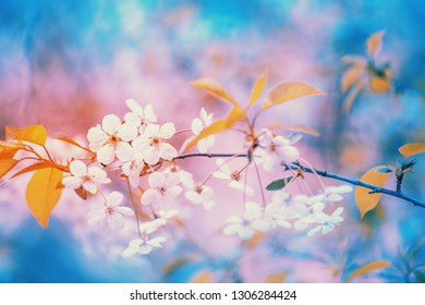 Colorful blooming fruit tree branch. Cherry orchard