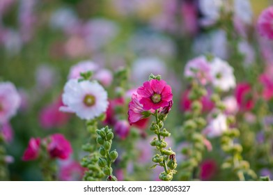 Colorful blooming Hollyhock with blurred leaf background.Hollyhock in garden.