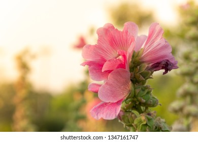 Colorful blooming Hollyhock with blurred leaf background.Closeup Hollyhock in garden.
