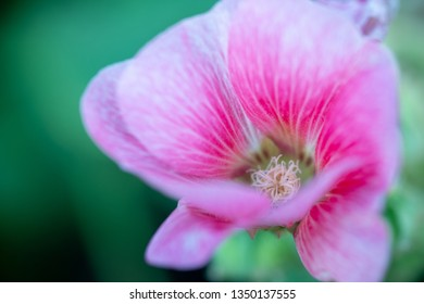 Colorful blooming Hollyhock flowers, Holly hock or Alcea rosea with blurred leaf background.Hollyhock in garden.