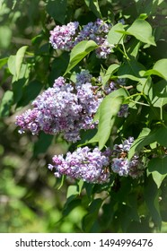 Colorful blooming lilac, syringa in sunny spring city garden. Moscow, Russia