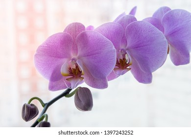 Colorful blooming of orchid flower close up