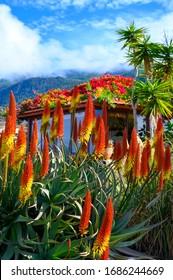 Colorful blossom of aloe vera plant on tropical island La Palma, Canary, Spain in winter