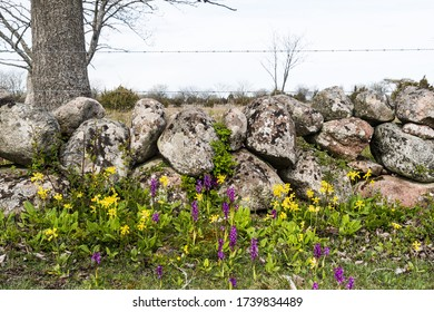 Colorful blossom purple orchids and cowslips by a dry  stone wall on the island Oland in Sweden