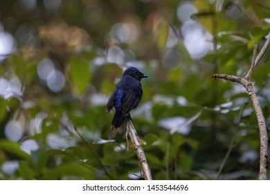 Colorful blue bird, male Large Niltava (Niltava grandis), standing on the branch, side profile.