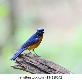 Colorful blue bird, male Rufous-bellied Niltava (Niltava sundara), standing on branch