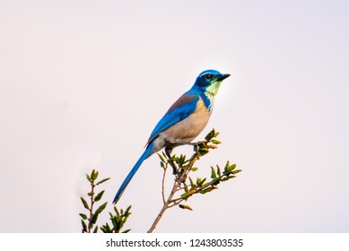 Colorful Blue California Scrub Jay perched on a twig in Kenneth hahn Park California. once lumped with the island scrub jay, and Woodhouse's scrub jay, collectively called the western scrub jay