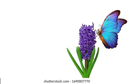 Colorful blue morpho butterfly on a flower. Blue hyacinth flower isolated on white. Bright colorful spring flowers.