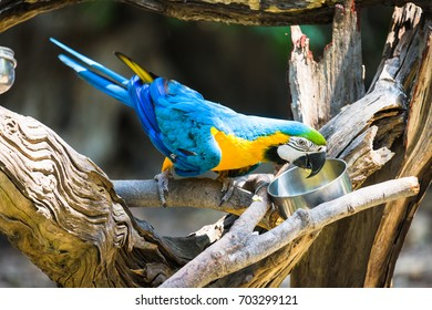 Colorful blue parrot macaw eating food in the bowl on tree branch