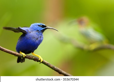 Colorful blue and purple male Cyanerpes caeruleus  Purple Honeycreeper with bright yellow legs perched on twig among blurred leaves. Green background, lens bokeh effect, Trinidad rain forest.