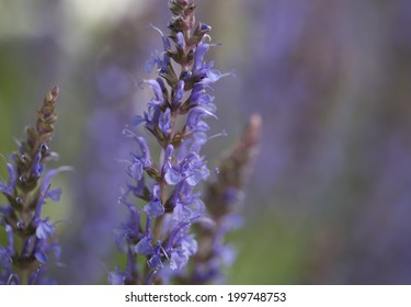 Colorful blue racemes of salvia or ornamental sage flowers growing outdoors in the garden with focus to a central inflorescence